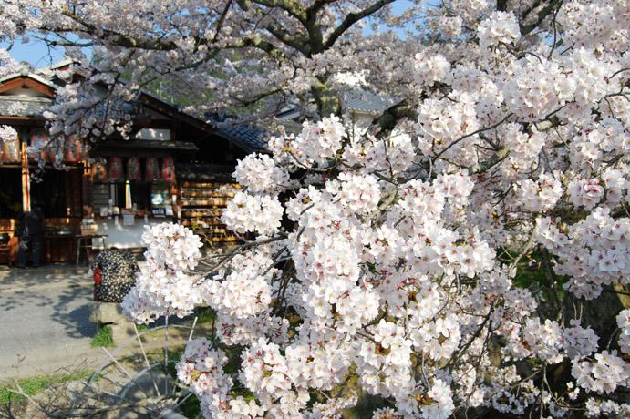 桜満開 哲学の道: 京都を歩くア...